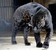 THE RIO DE JANEIRO ZOO HAVE ONE, I SAW, IS VERY BEAUTIFUL.    Black Panther – a typical melanistic color of any species of big cats.    In Latin America, a Black Panther is just a melanistic jaguar; in Asia and Africa it's a black leopard, and in North America it may be black jaguars or pumas. By the way, it has been proven that black cats have a more balanced nervous system and faster response than other colors of cats.