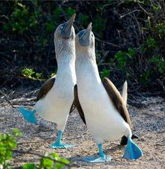 """It's called """"blue-footed Booby"""" because it is clumsy when walking."""