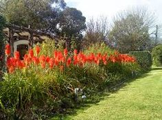 Drought resistant - Red hot poker (Kniphofia)