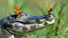 Alligator and butterfly – Most Beautiful Picture of the Day: May 7, 2017 – Most Beautiful Picture - http://www.wildlifearchives.com/pin/3585/