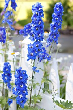 Delphinium is a stately, elegant perennial that is a standard in English cottage gardens. Colorful Flowers, Blue Flowers, Beautiful Flowers, Hardy Perennials, Flowers Perennials, Country Cottage Garden, Cottage Gardens, Virtual Flowers, Blue Delphinium