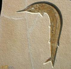 Aspidorhynchus acutirostris BLAINVILLE 1818 fossil fish from Solnhofen