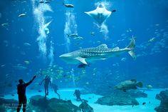 Atlanta Georgia Aquarium Whale Shark 4 | Here's another picture of a whale shark at the Georgia aquarium (just ...