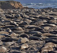 Elephant Seal Beach San Simeon, CA -Amazing to see so many wild animals on a beach.