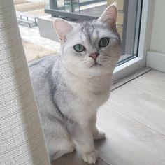 So hooman, u telling me.. u control the red dot?  . . #mrlouisandbrothers #kitten #topcatphoto #britishshorthair #catsofinstagram #ilovemycat #britsekorthaar #cutecats #kittensofinstagram #cat #katze #magnificent_meowdels #kittens #cats #catlife #meow_beauties #britskorthaar #catstagram #catsoninstagram #catoftheday #excellent_cats #instacat #catlovers #instagramcats #cat_features #pleasantcats #cats_of_instagram #britishshorthairhouse #catasticworld #bestcats_oftheworld