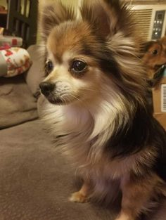 long hair chi Long Hair Chihuahuas Source by MaddieClarice The post Long Hair Chihuahuas appeared first on Keenan Sheepdogs. Long Haired Chihuahua, Chihuahua Puppies, Dogs And Puppies, Chihuahuas, Chihuahua Facts, Secret Life Of Pets, Purebred Dogs, Little Dogs, Beautiful Dogs