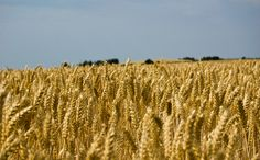 Fields of gold ( wheat )