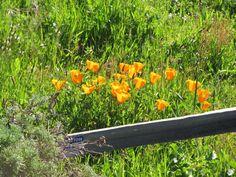 Fiscalini Ranch Preserve, Cambria: It's Spring. I Can Prove It.