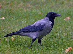 Kråka, Corvus corone cornix - Fåglar - NatureGate