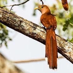 """Piaya Cayana o """"Cuco ardilla """"  Identificación gracias al Biologo Mauricio Macias, Conteo de aves Navideño en Cerro Blanco. -------------------------------------------- #nikon #nikonnofilter #nikonlove #nikonworld_ #nikond750 #nikon200500  #Ecuador #AllYouNeedIsEcuador #EcuadorTravel #ViajaPrimeroEcuador #EcuadorAmaLaVida #instameetec #turistiqueros #guayaquil #municipalidadgye #gye #gyeturismo #guayaquilesmidestino  #guayaquiltravel #ecuadorpotenciaturistica #birdfestalasdelbosqueseco…"""