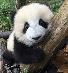 "2,172 Likes, 24 Comments - Panda Buzz Life (@pandabuzzlife) on Instagram: ""panda #panda #pandas #panda #baby #adorable #giantpanda #cute #kids #animals #cuteanimal #パンダ…"""