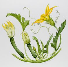 Floral Painting - Courgettes by Sally Crosthwaite Illustration Botanique, Plant Illustration, Botanical Illustration, Plant Painting, Plant Drawing, Botanical Flowers, Botanical Prints, Squash Flowers, Vegetable Drawing