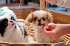 Japanese Chin Puppies, so cute :)