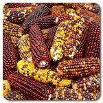 Wampum Corn #highmowingseeds
