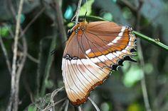 Papillon (Café Doka Estate. Costa Rica)