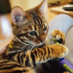 Pippa the Toyger @ToygerSociety