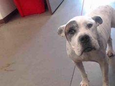 Phoenix Az Senior English Bulldog Meet Doogly A Dog For