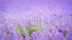 Скачать обои лаванды, поле, лето, раздел цветы в разрешении 1366x768