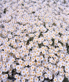 Daisy fields forever. @thecoveteur