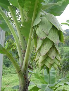 Ensete glaucum (Musa glauca) Snow Banana is an edible fruit grown mainly in Nepal, India, Burma and Thailand