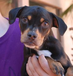 Bella is a super sweet baby girl who loves playing with dogs and kids.  She is a Beagle mix, 6 months of age, now spayed and debuting for adoption at Nevada SPCA (www.nevadaspca.org).  Bella needed us because her previous owners said they did not have enough time to take care of her.  Please visit and ask for Bella by name.