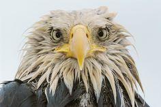 El águila calva · National Geographic en español. · Reportajes