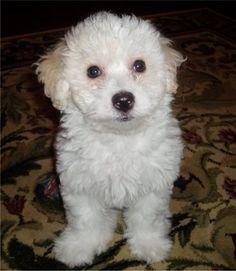 Bichon Frise Puppy!