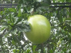 THE CALABASH The calabash, is a vine grown for its fruit, which can either be harvested young and used as a vegetable, or harvested mature, dried, and used as a bottle, utensil, or pipe. They come in a variety of shapes, they can be huge and rounded. Used in jamaica for cooking and for gourd purposes  The calabash was one of the first cultivated plants in the world, grown not primarily for food, but for use as a water container.