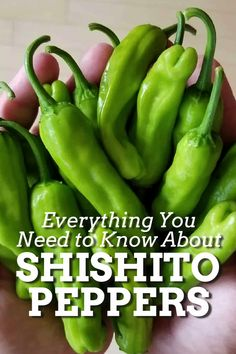 Shishito peppers are a popular appetizer peppers notable for being rather mild, but every so often a particular pod will pack some heat. We're sharing everything you need to know about Shishito Peppers. #shishitopeppers #peppers Stuffed Jalapeno Peppers, Stuffed Green Peppers, Spicy Chicken Recipes, Asian Recipes, Popular Appetizers, Spicy Chili, Exotic Food, Food Facts, Easy Cooking