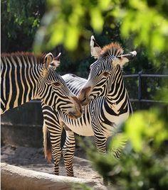 Zebra kisses. #Valentinesday #animals