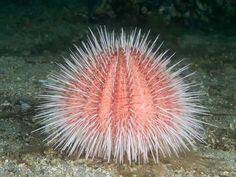 Madagascar sea urchin