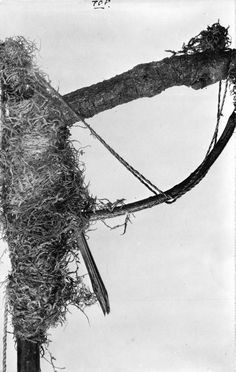 """Maori bird snaring perch The Maori """"pae"""" or bird snaring perch. The loose cords shewn, when pulled taut, would imprison the bird's legs. These Pae"""" were fastened to [the] end of a long pole, & then pushed up among the branches of a tree wheron birds were known to alight. When a bird was caught, the """"Pae"""" was lowered, the bird put in the hunter's bag & the snare reset."""