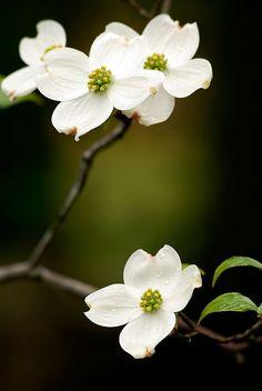Dogwoods are my favorite springtime flowering tree. Dogwood Trees, Dogwood Flowers, Trees And Shrubs, Flowering Trees, Pink Dogwood, My Flower, Flower Art, White Flowers, Beautiful Flowers