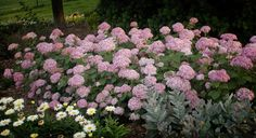 Invincible® Spirit Hydrangea. Gorgeous pink 'Annabelle' Hydrangea. One dollar is sent to the Breast Cancer Research Foundation for each Invincibelle Spirit sold.