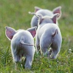 FARMHOUSE – ANIMALS – springtime is a time for renewal and rebirth on the farm, baby pigs are actually some of the most beautiful creatures on a farm. Cute Creatures, Beautiful Creatures, Animals Beautiful, Cute Baby Animals, Animals And Pets, Funny Animals, Funny Pets, Fun Funny, Baby Pigs