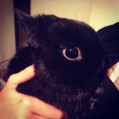 Cute little dwarf Hotot bunny! Black Dwarf, Black Bunny, White Eyeliner, Cuddles, Cute Bunny, Foxes, Rats, Bunnies, Animals