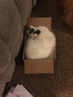 My Maine Coon, Grizz trying to fit into a box
