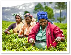 Sri Lanka tours - Sri Lanka tea tour / looks fun. Love history of tea.