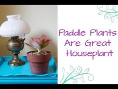 I grow Paddle Plants in my garden but they make unusual, fascinating & easy care houseplants. This post & video will tell you what you need to know about these beautiful succulents.