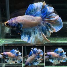 ***Green-Marble-RoseTail***HM-Male***