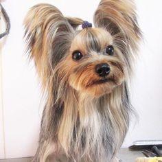 #犬 #dog #犬バカ部 #愛犬 #富山#doglover #ふわもこ部 #多頭飼い #ブリーダー #pet #ペット #baby #子犬 #トリミング #trimming #トリマー #trimmer #groomer #grooming #dogsalon #cut #チッチ #トリミングサロン #cute #可愛い #ヨーキー #ヨークシャーテリア #Yorkshireterrier  みっちー❤️ お耳、フサフサ、みっちー❤️ 1歳7ヶ月の、ヤンパパ!  なんだか…  大人になったら、  ミトたんに、顔が似て来た❤️ 性格は、全然、違うけれど(笑)