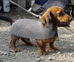 dachshund in chainmaille