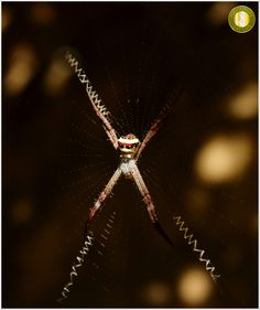 Indian Signature Spider (Argiope anasuja), photographed by Samrat Godambe at #Kanha National Park  These #spiders make certain zig-zag pattern on web therefore also known as writer or signature spider.This spider weaves four zig zag stripes in its web, and holds its legs together in pairs. It holds its legs in pairs to disguise itself as a four legged creature; it does this to not appear to look like a spider.