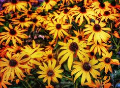 #rudbeckia #browneyedsusans #flowers #floweroftheday #photooftheday #kodakmoments #flowerporn #flowerpower #flowermagic #flowerstalking #flowerlovers #flowersofinstagram #flowerstagram #photography #photographer #photographylovers #digital #original #bjtuiningafineartanddesign https://500px.com/bettytuininga http://fineartamerica.com/profiles/bjdoolittle-tuininga.html http://www.bjtuiningafineart.com Email: bjtuiningafineart@yahoo.com