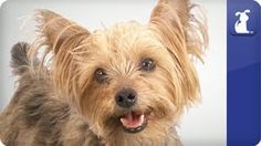 """It's always refreshing when you hear that your Yorkie was originally bred to get rid of pests. Of course, this was back in the century when we didn't have """"teacup yorkies"""". I would think that some of the rats would have been bigger than a 4 lbs Yorkie. Yorkie Dogs, Yorkies, Puppies, Top 10 Dog Breeds, Yorkshire Terrier, Cute Dogs, Pets, Pet Videos, Teacup"""