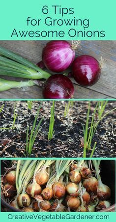 How to Grow Awesome Onions in Your Garden Growing and planting onions successfully can be a challenge if you dont understand a few important tricks. Here are the top 6 ways to grow awesome onions. Growing Onions, Growing Veggies, Planting Vegetables, Growing Tomatoes, Organic Vegetables, Planting Onions Bulbs, Organic Gardening, Gardening Tips, Urban Gardening