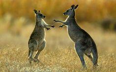 2331108-kangaroos-news-xlarge_trans++v6k42d8kP6b-B1r42w4afjSXGp1bu63AMdbZolP8krw