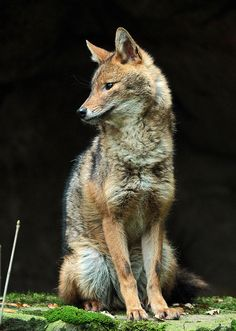 Jackal ~ goudjakhals burgerszoo by j. Beautiful Creatures, Animals Beautiful, Cute Animals, Animal 2, Mundo Animal, Japanese Raccoon Dog, Wolf Hybrid, Maned Wolf, Predator Hunting