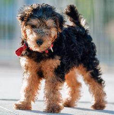 Lakeland Terrier.  Like Angus but smaller, and black & tan.