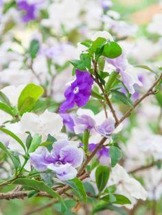 Manacá-de-cheiro, manacá-de-jardim. Nome científico: Brunfelsia uniflora. Família: Solanaceae. Cultivo: chegam a três m de altura e gostam de sol pleno. Em vasos, opte por recipientes profundos e com grande diâmetro. Em canteiros, o manacá requer regas diárias durante a floração, regulares em época de poucas chuvas e moderada nos períodos chuvosos. Em vasos, regas regulares (2 a 3 vezes na semana) com troca de substrato a cada dois anos. Fotografia: Getty Images.
